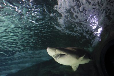 Sand tiger shark in zoo aquarium