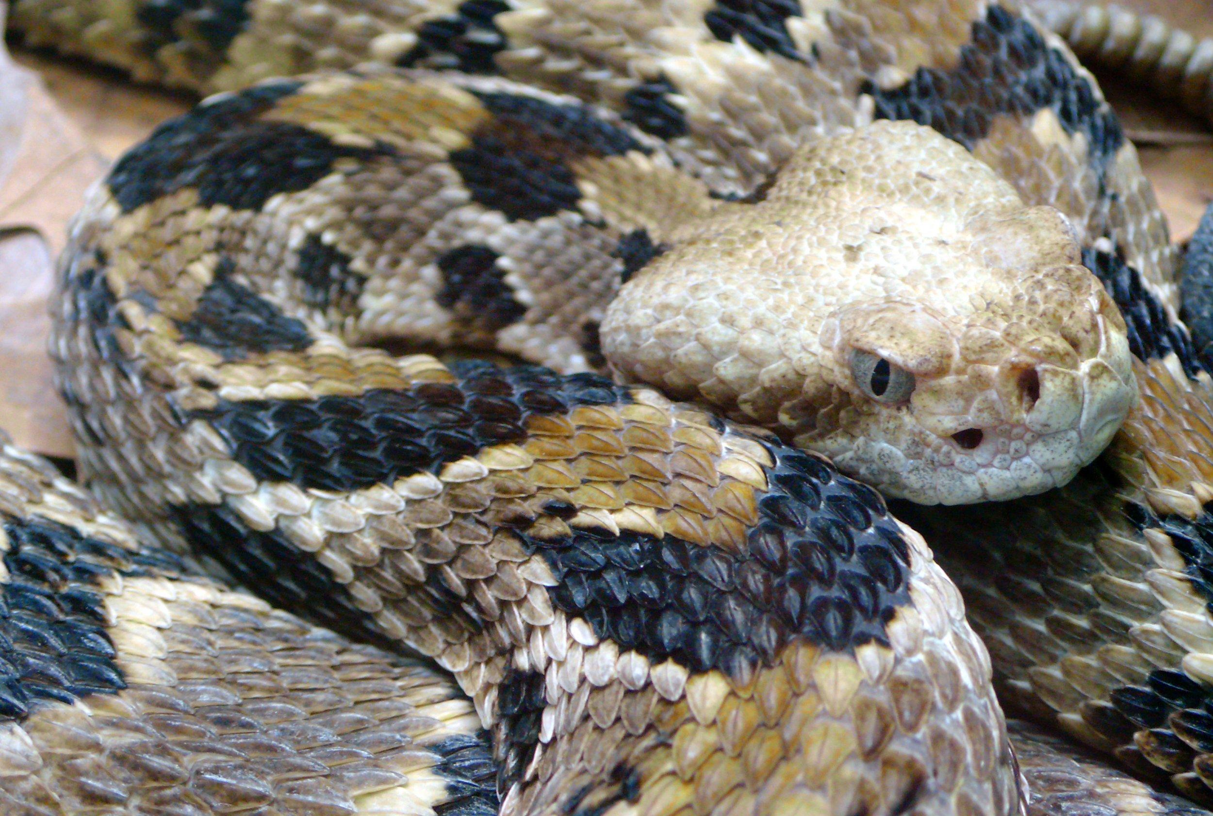 Timber-rattlesnake.Crotalus-horridus