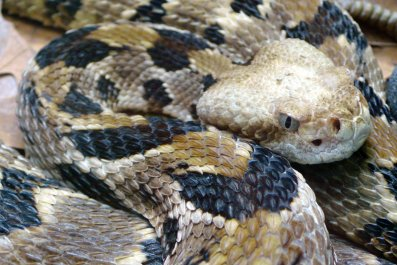 Timber-rattlesnake.Crotalus-horridus