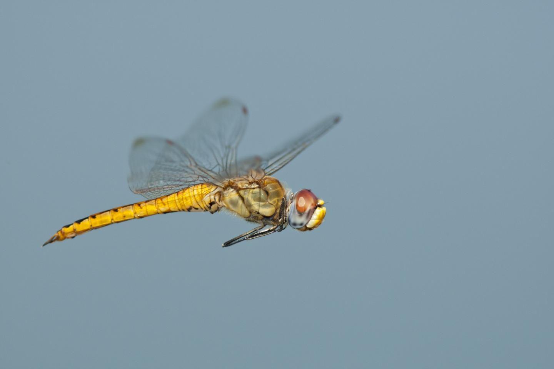 Pantala-flavescens-dragonfly