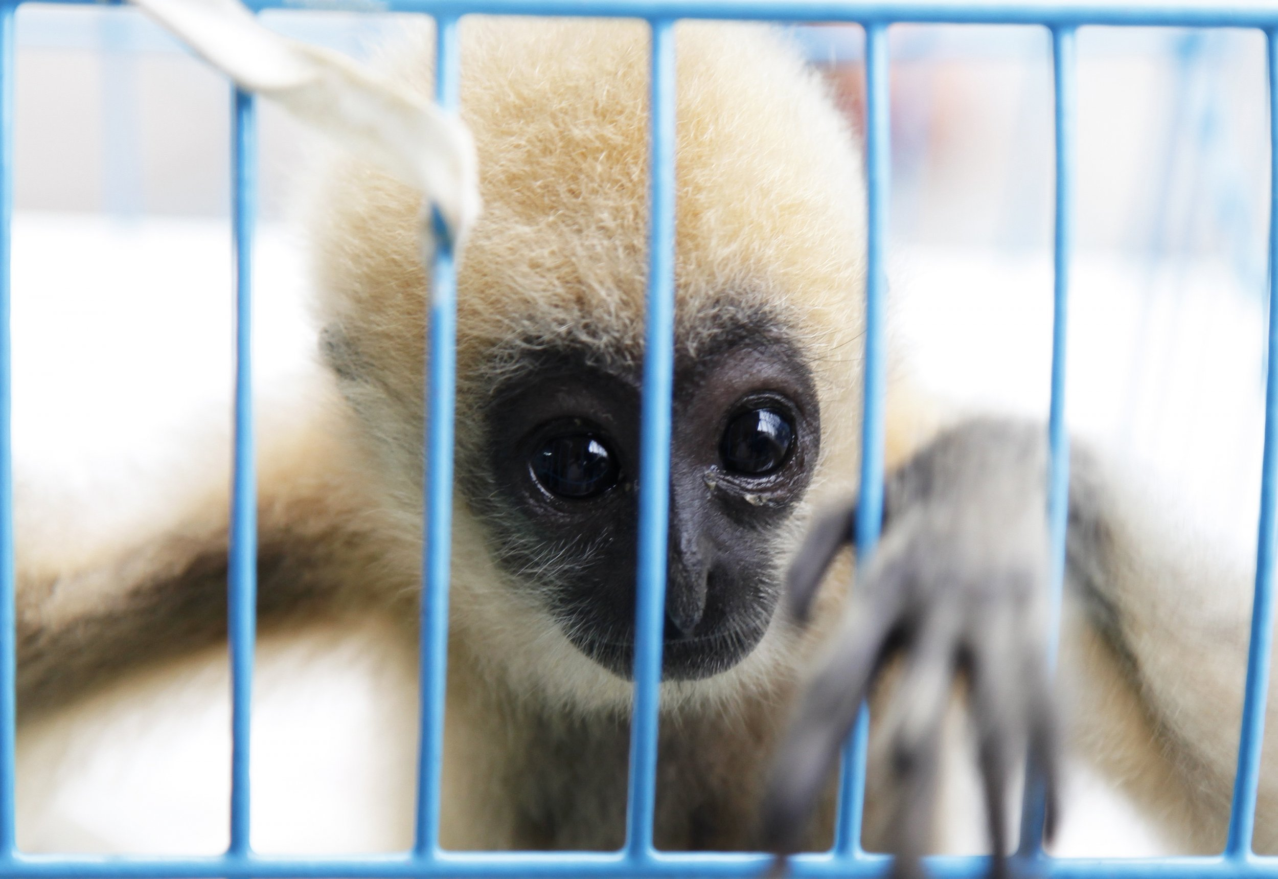 Facebook traffic endangered animals Gibbon