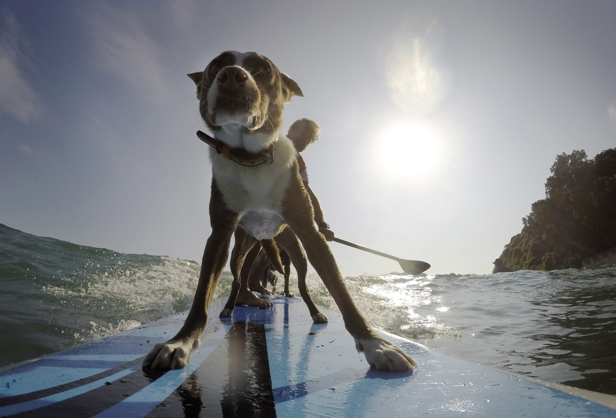 Dogs Steal The Spotlight At Australia Surfing Festival