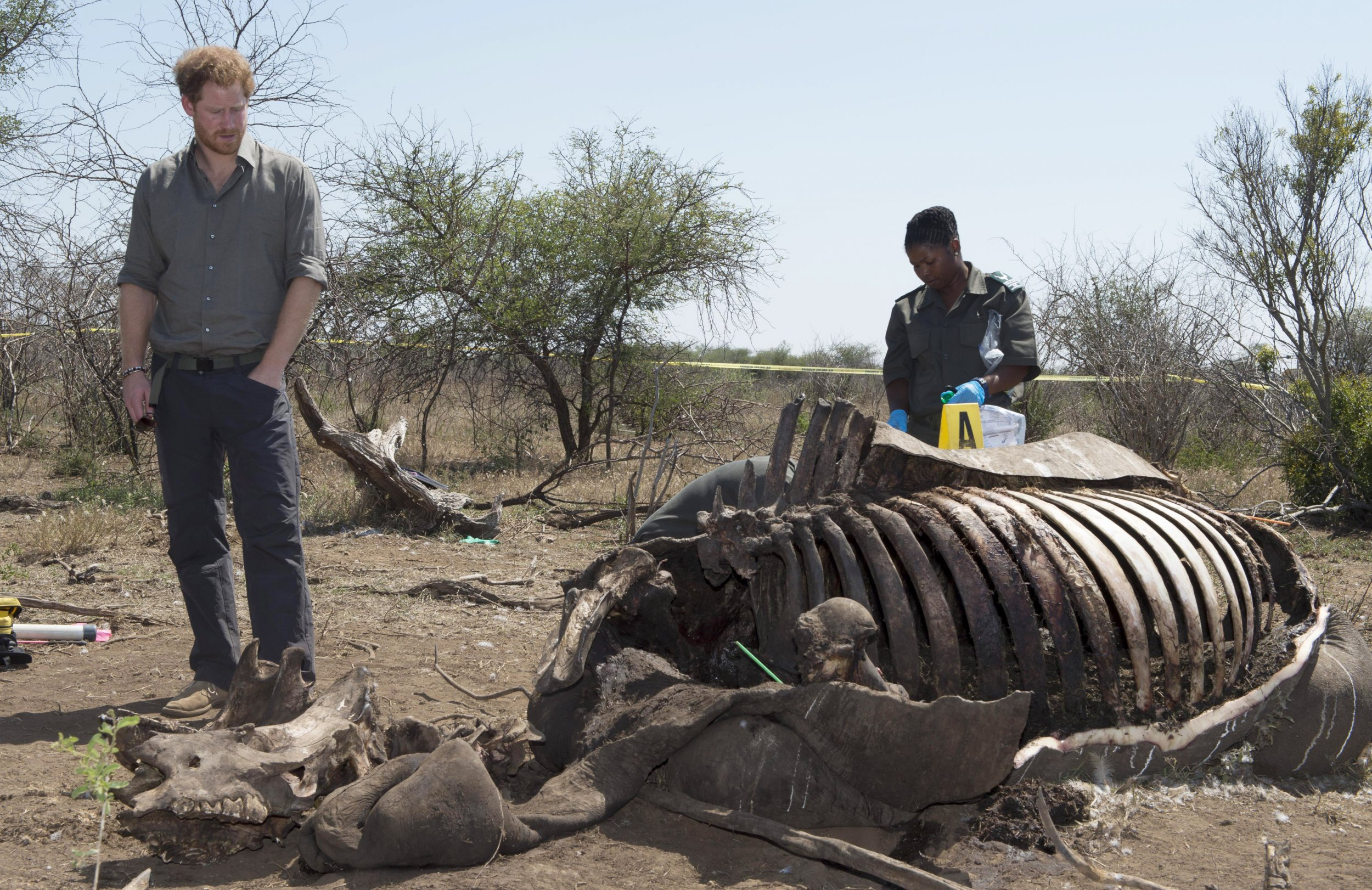 Prince Harry looks at the carcass of a rhino killed by poachers.