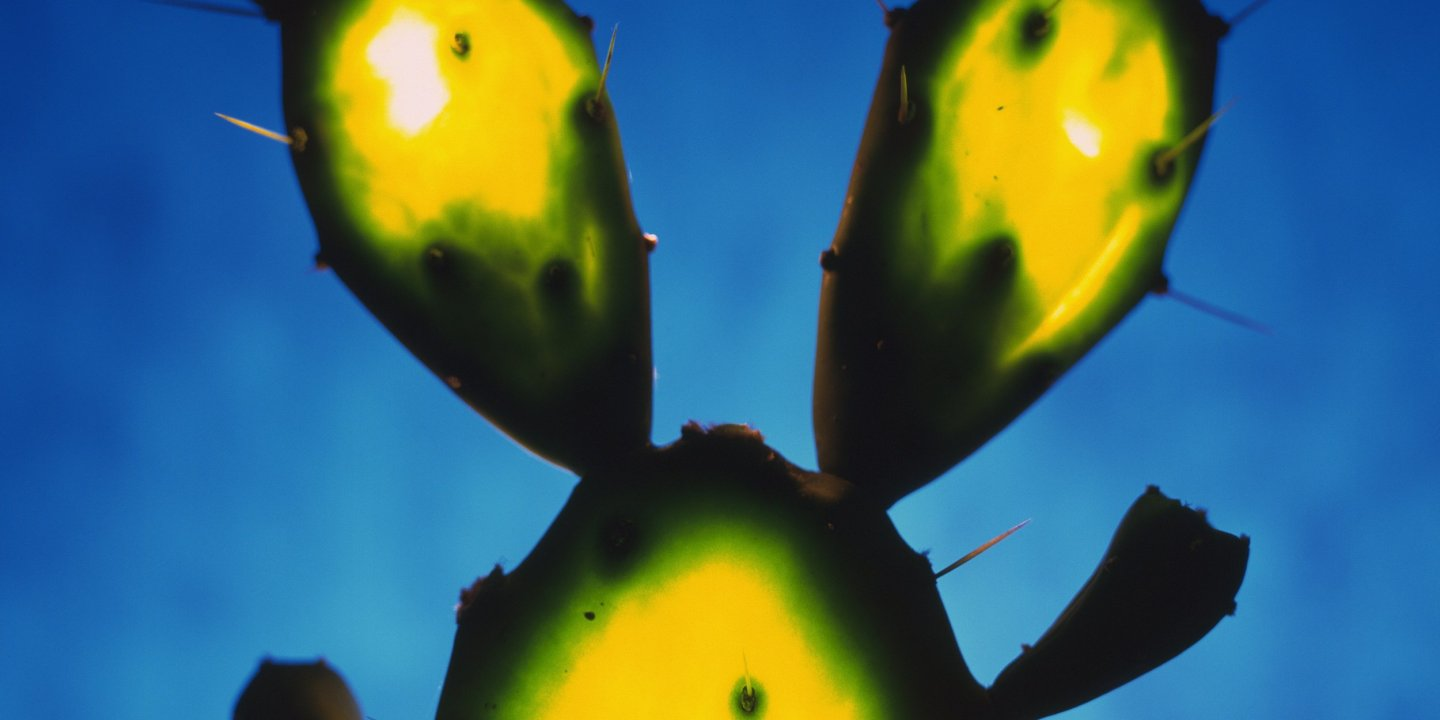 Cactus Guts Could Rid Water of Toxins