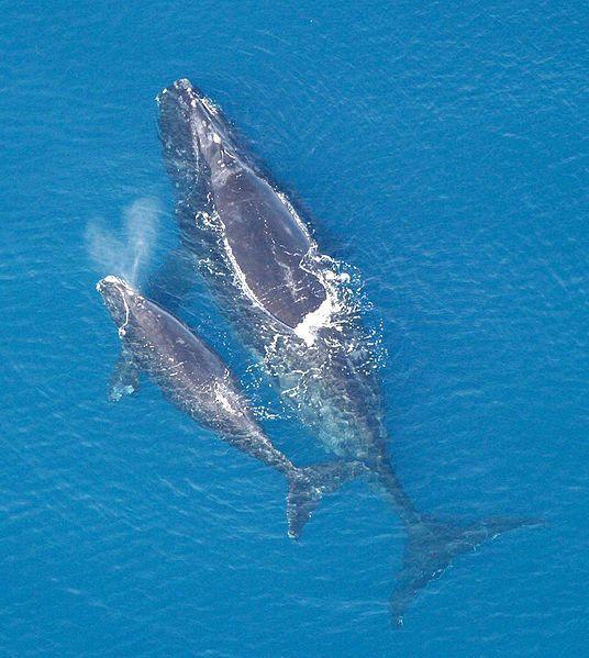 Eubalaena-glacialis-northern-right-whale