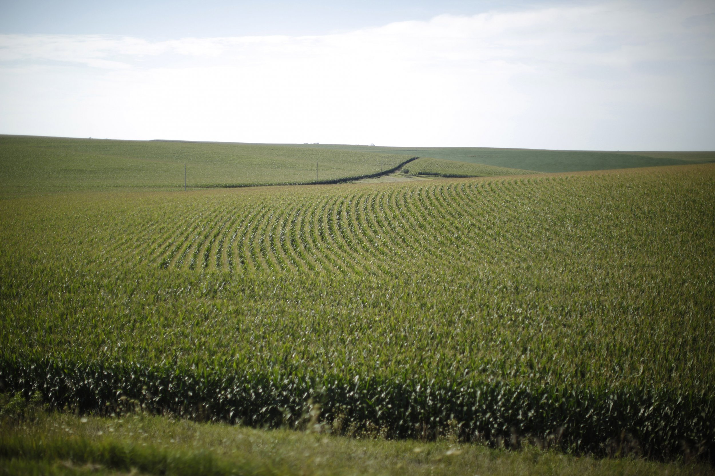 Corn Field in Iowa