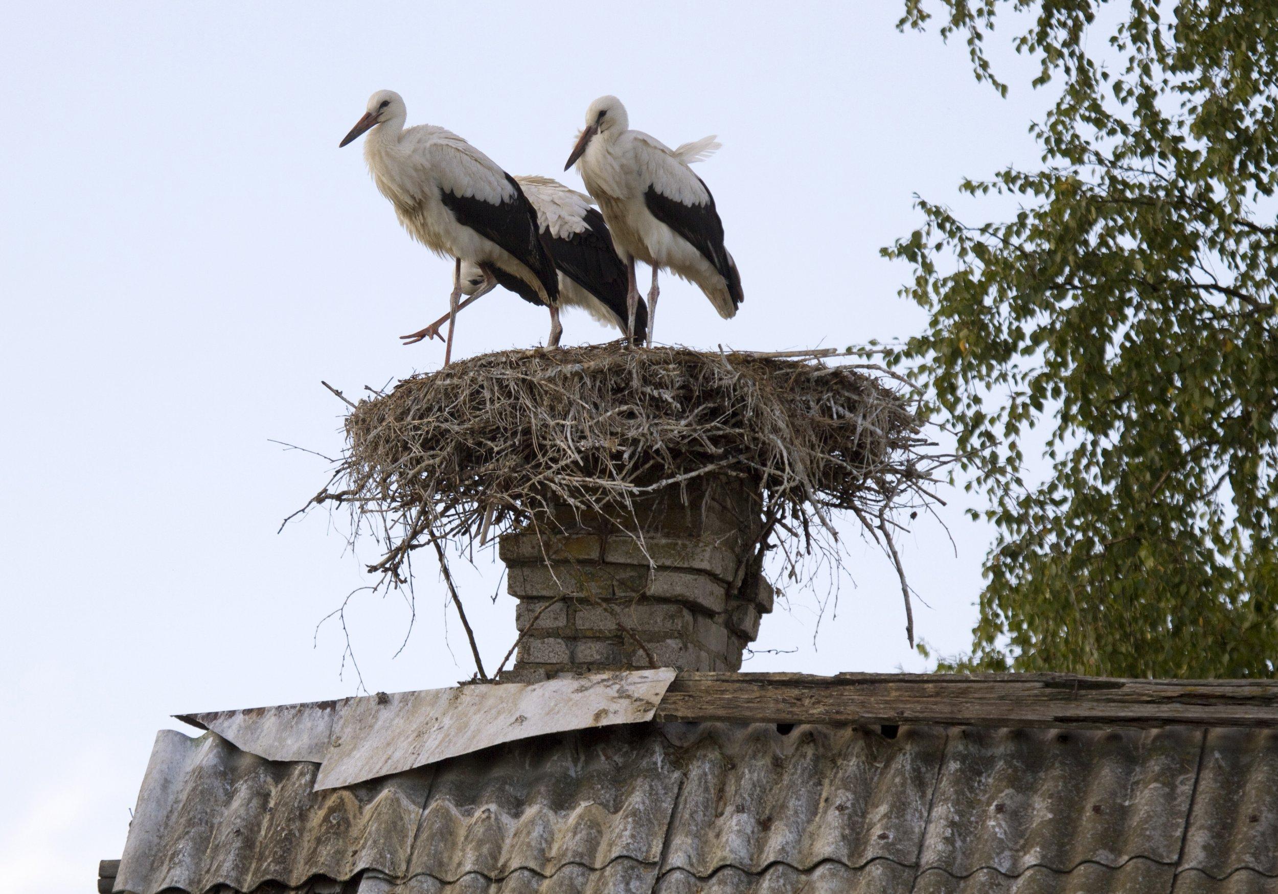 White-storks