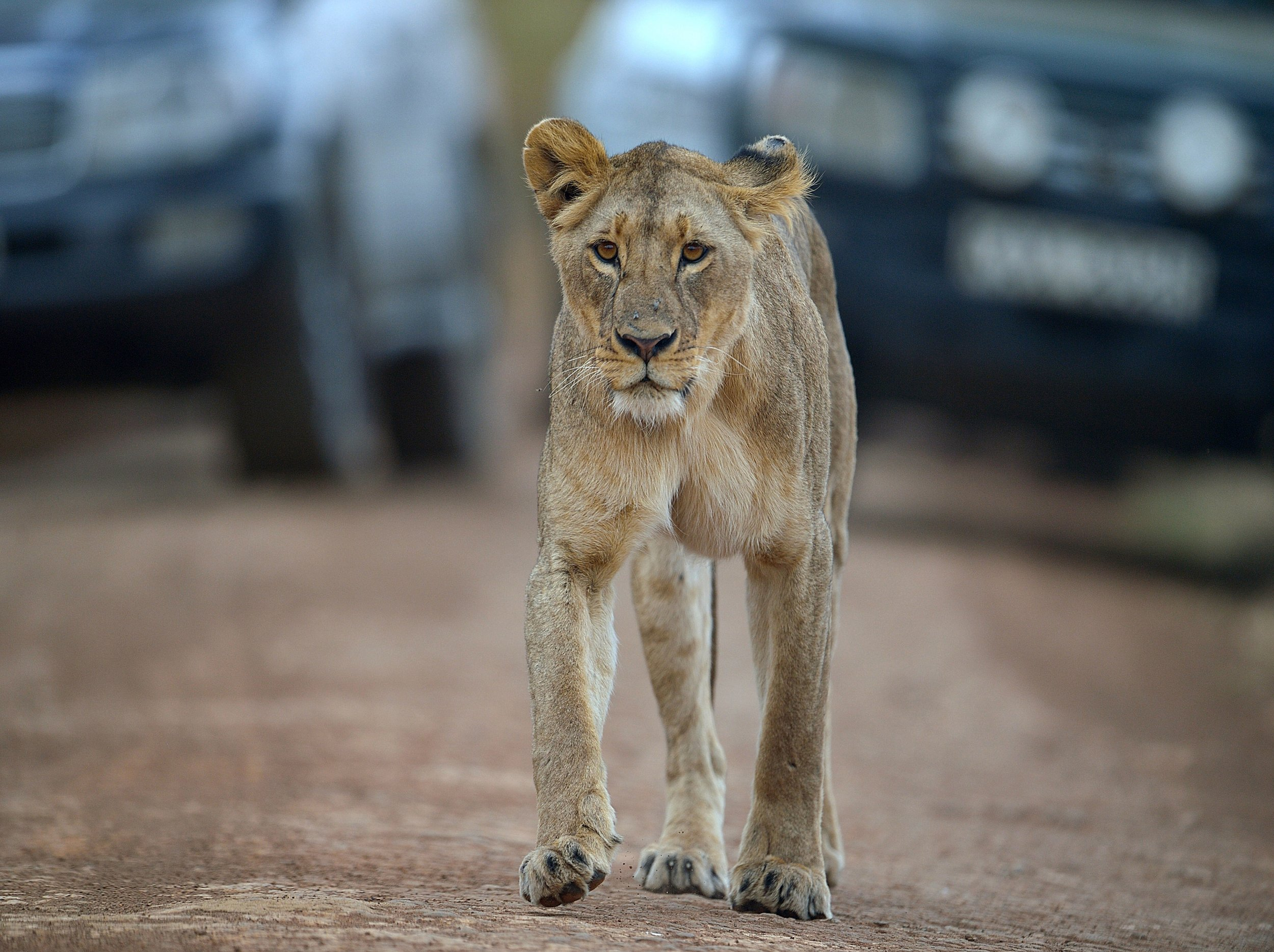 A lioness walks in Nairobi National Park.