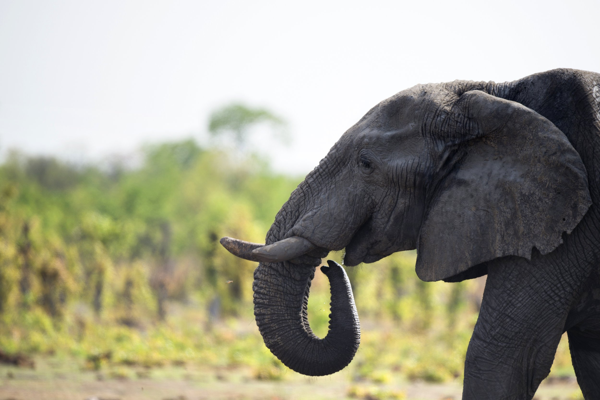 An African elephant is seen in Hwange National Park, Zimbabwe.