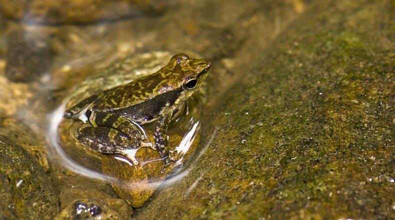 Kallar-dancing-frog