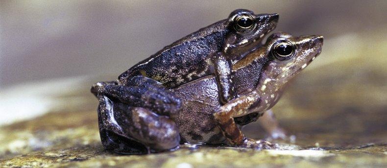 Kallar-frogs-mating