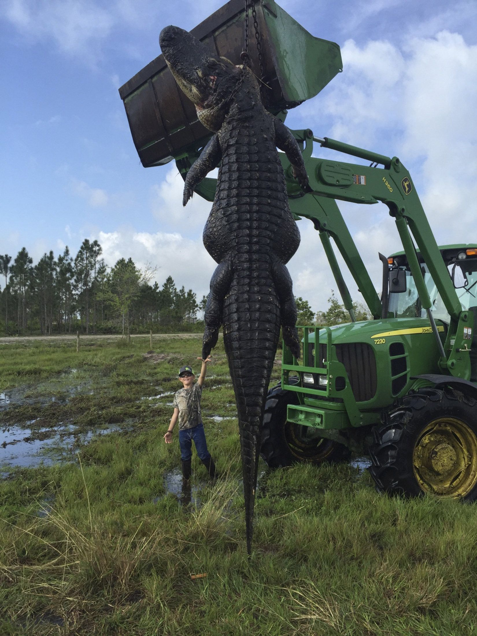 800 pound 15 foot long alligator caught on florida farm