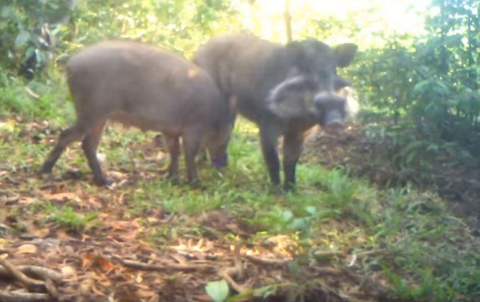 bawean-pigs