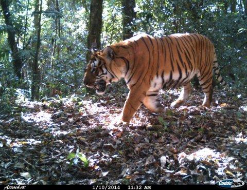 Bhutan-tiger