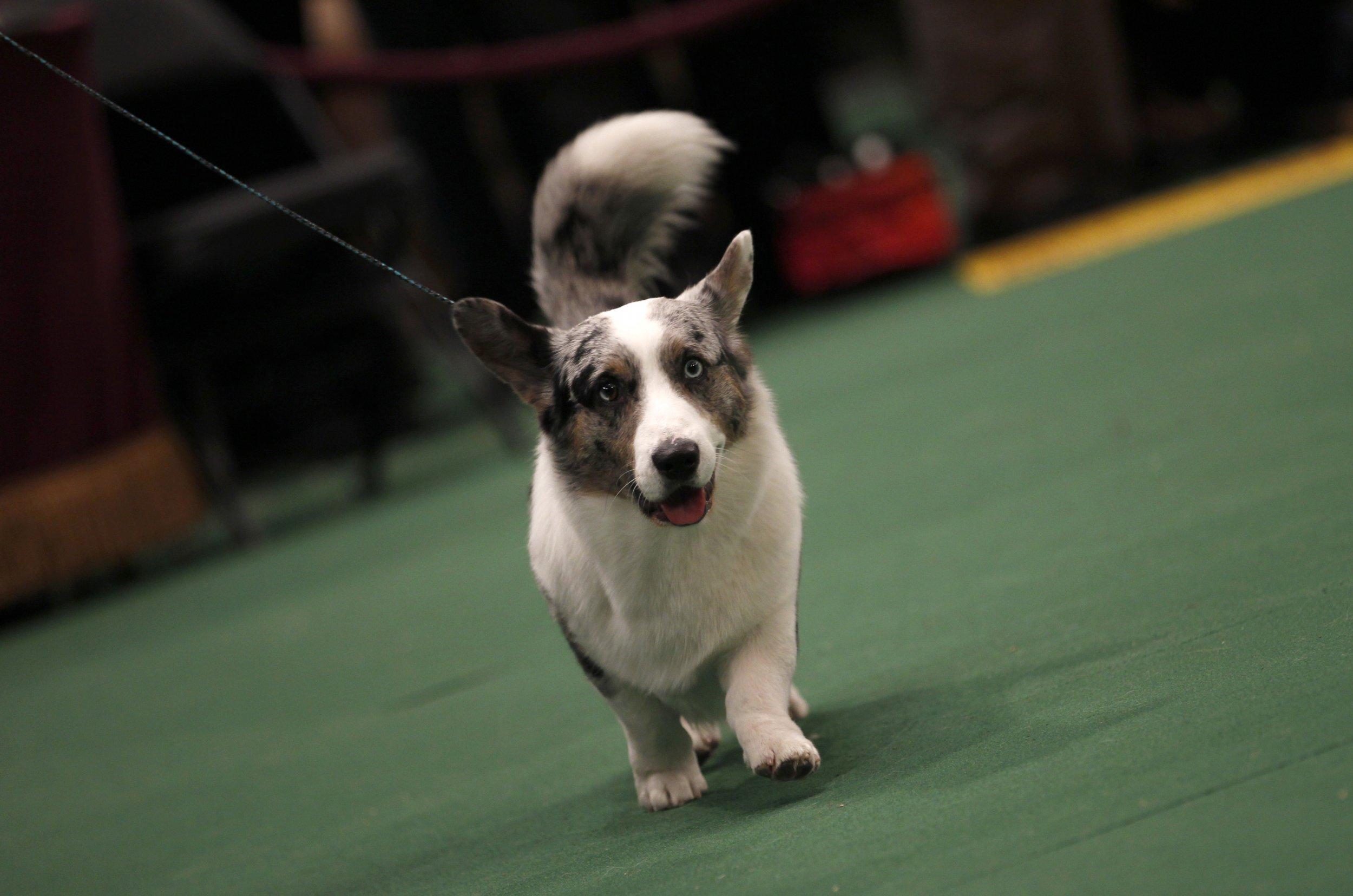 Westminster Dog Show Corgi