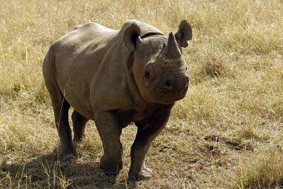 A black rhinoceros in South Africa.