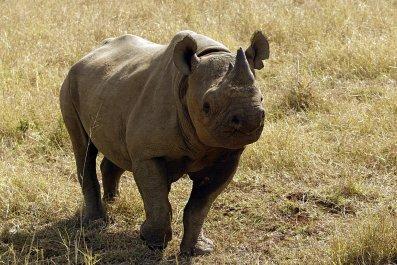 A black rhinoceros in South Africa.