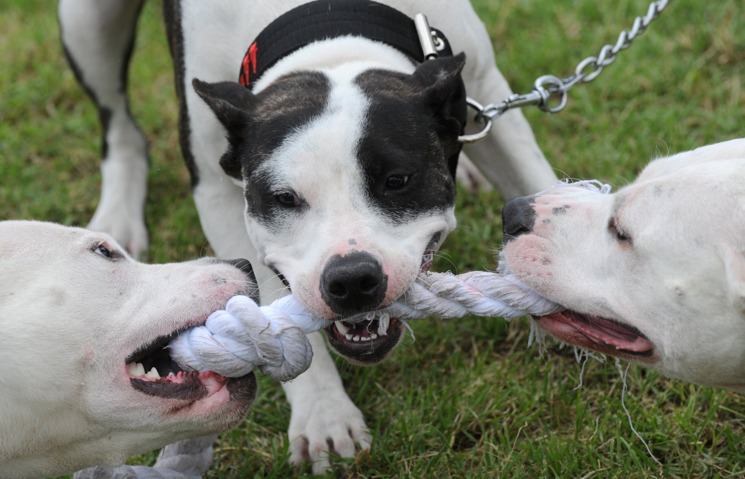 should dangerous dogs banned essay Animal testing should be banned because it may cause researchers to believe that dangerous substances are safe perhaps one of the best known failures of animal testing was the thalidomide tragedy of the 50s and 60s.
