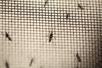 Aedes aegypti mosquitoes in a laboratory.
