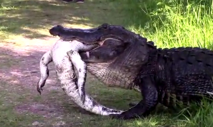 Video huge alligator eats another revealing cannibalism is common freerunsca Image collections