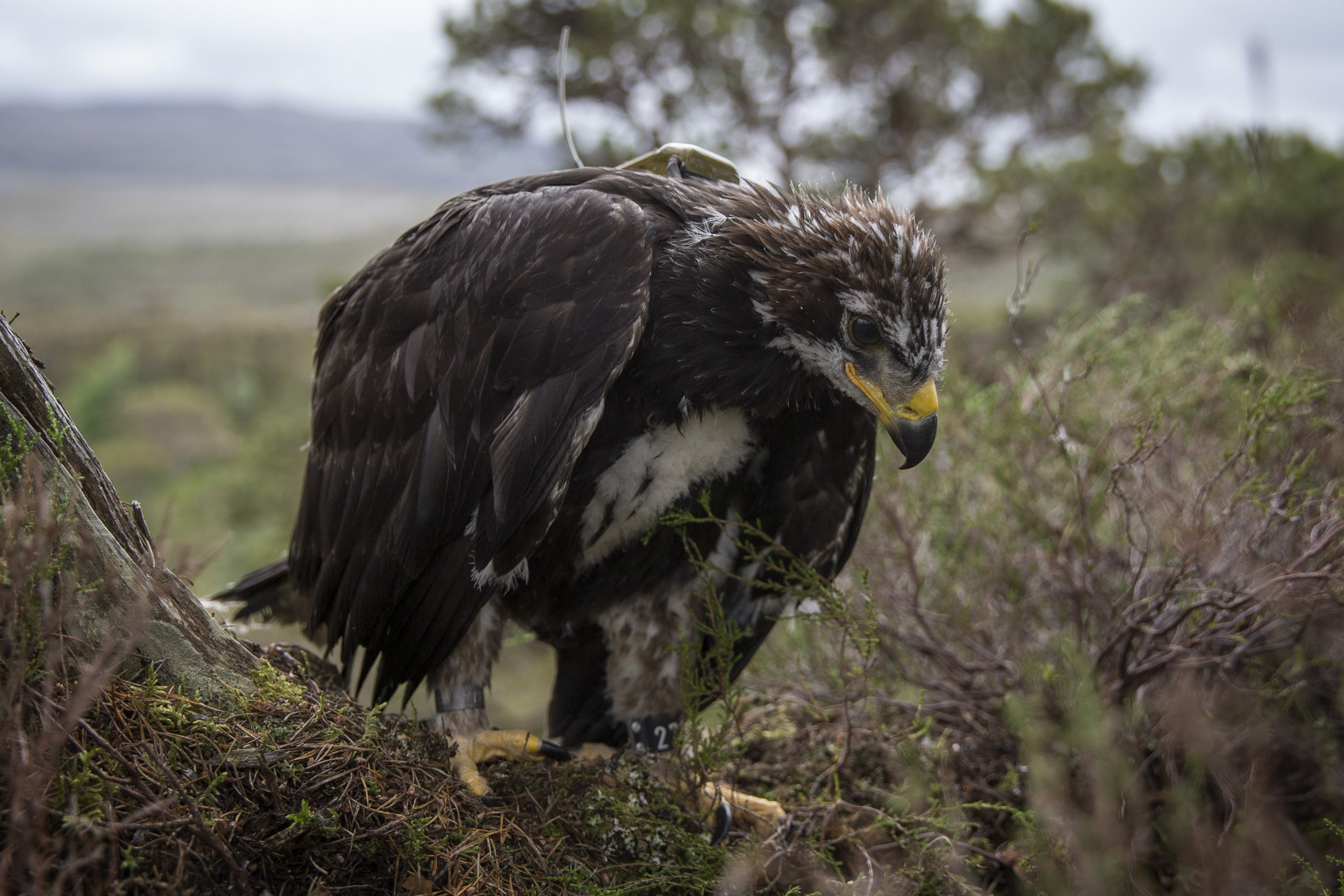 last remaining golden eagle in england feared dead