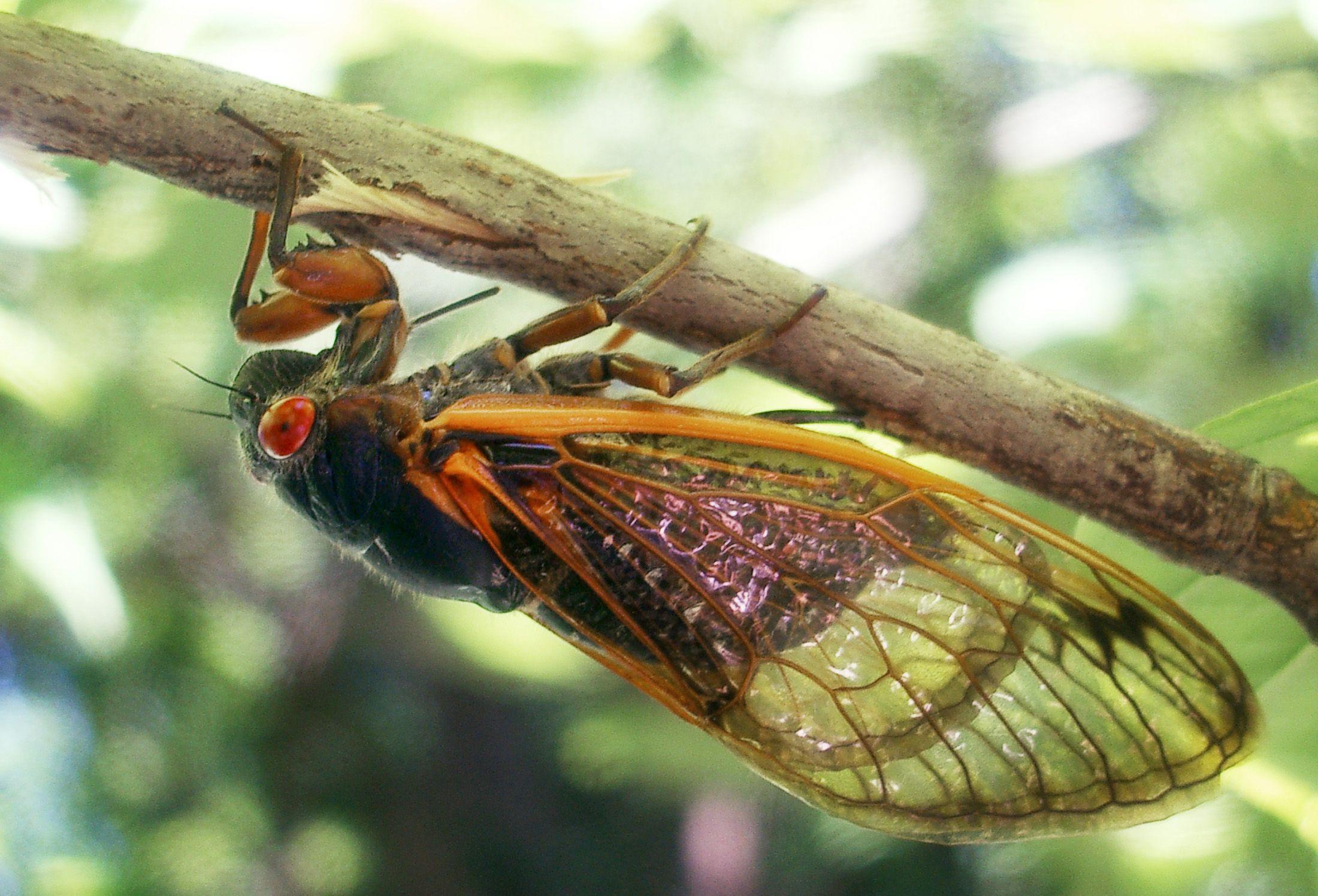 Brood-V-cicadas