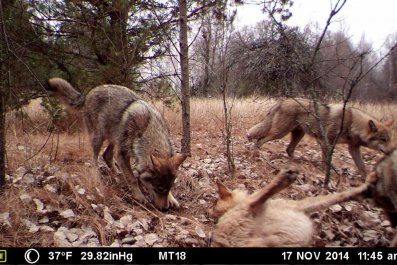 chernobyl-wolves