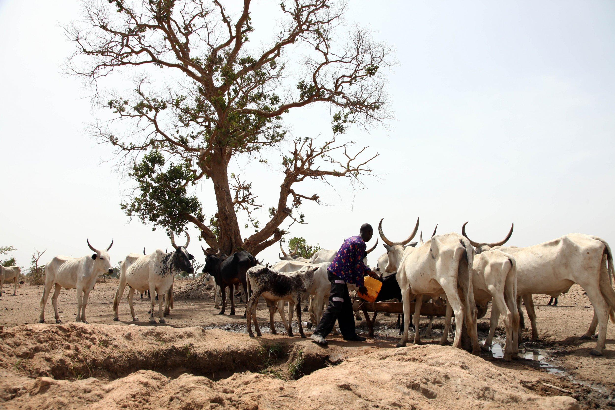 Fulani herdsmen waters cattle in Nigeria.