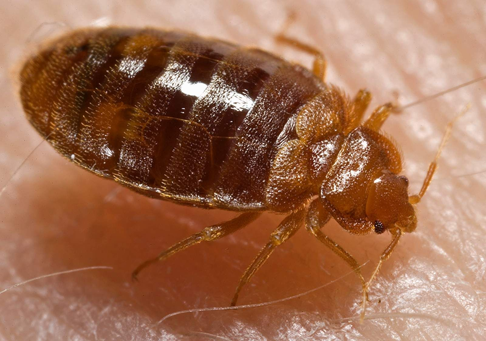 Bedbugs Could Be Attracted To The Color Of Your Sheets
