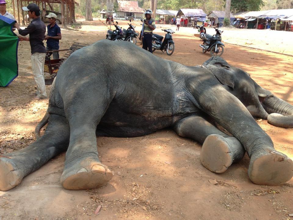 dead elephant facebook Yem Senok
