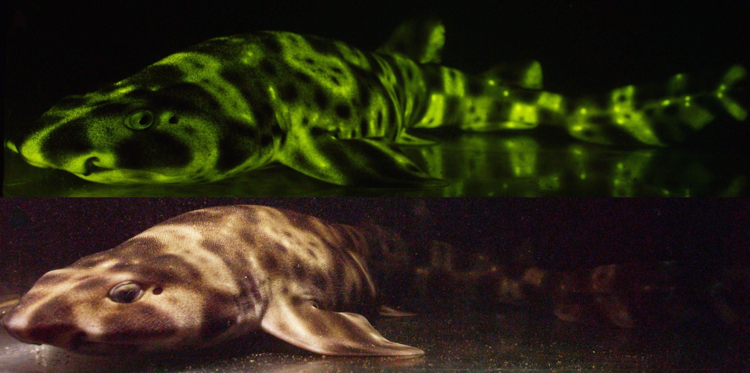 glowing-swell-shark