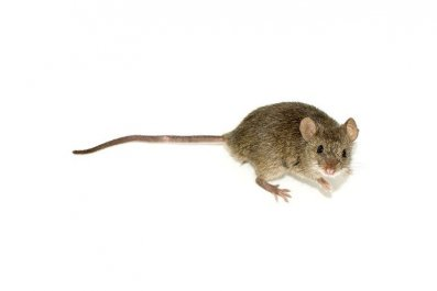 NR old mouse aging mice epfl