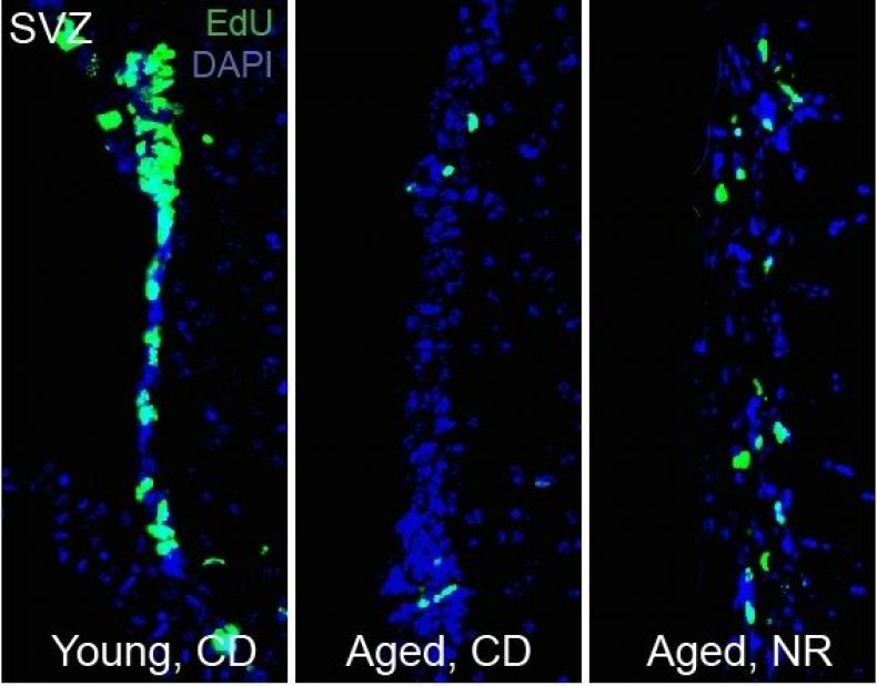 Stem cell decline in aged mice
