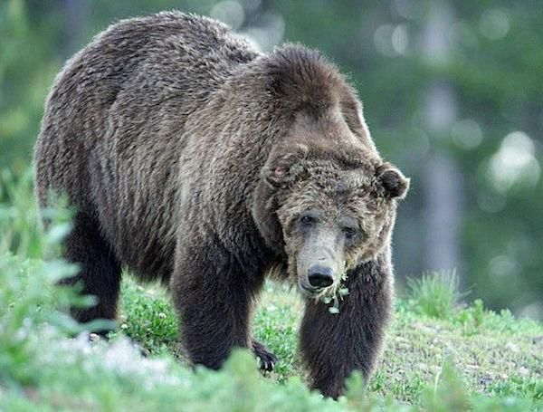 Killing Of Famed Yellowstone Grizzly Intensifies