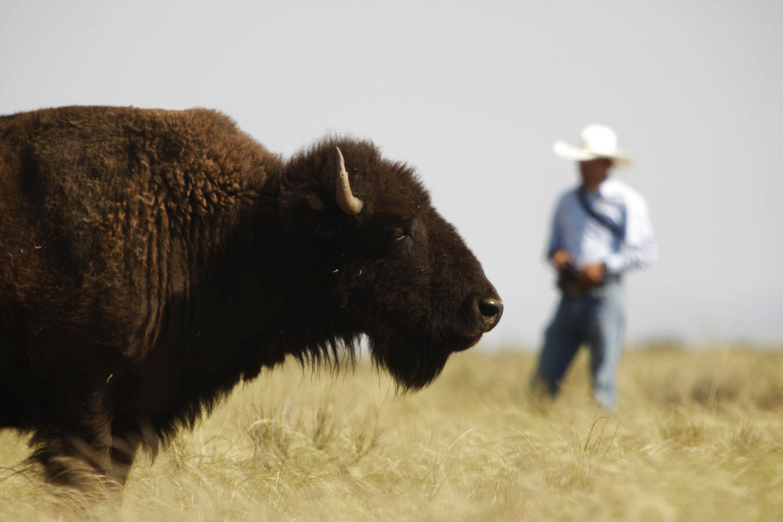 American-bison