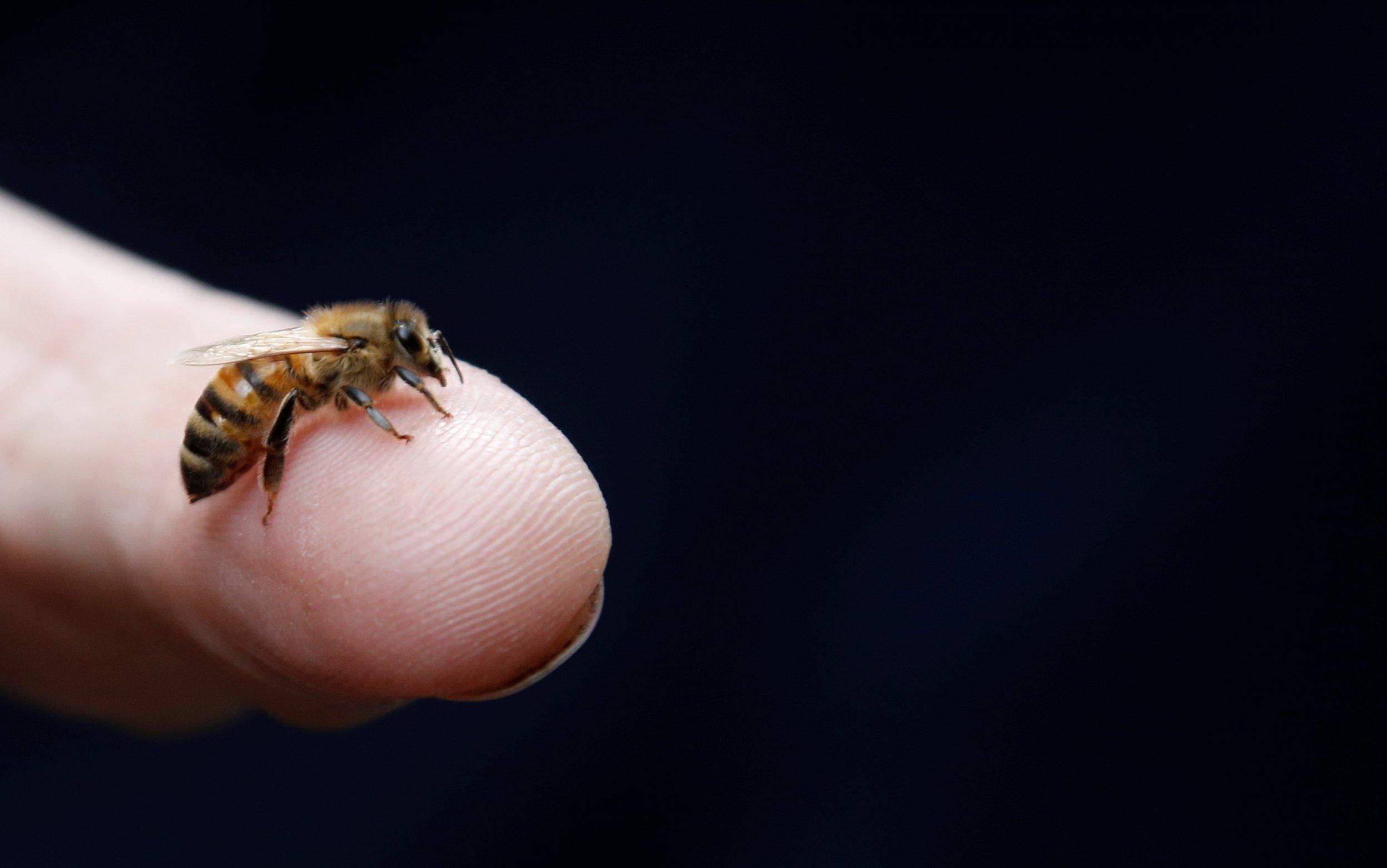Honeybee sits on a finger