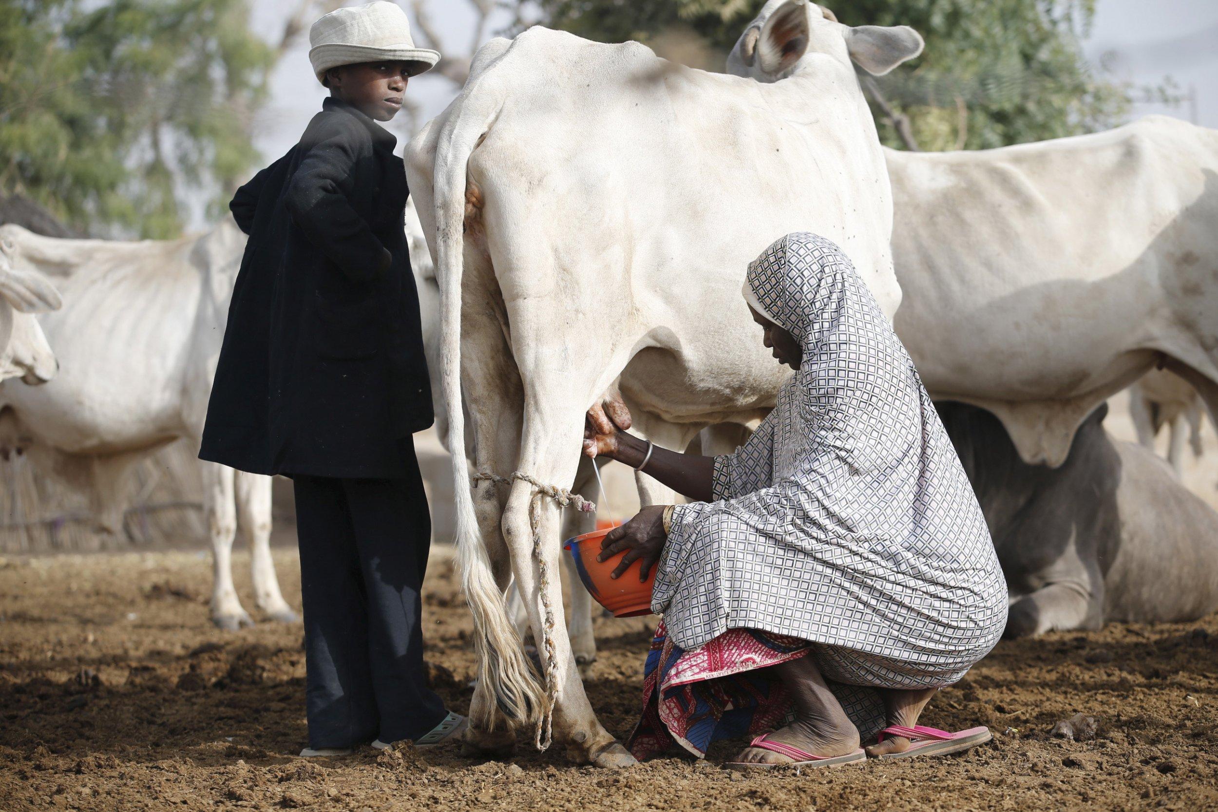 Fulani herdswoman milks cow.