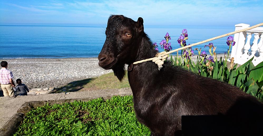 Primorsky Safari Park's goat named 'Obama'