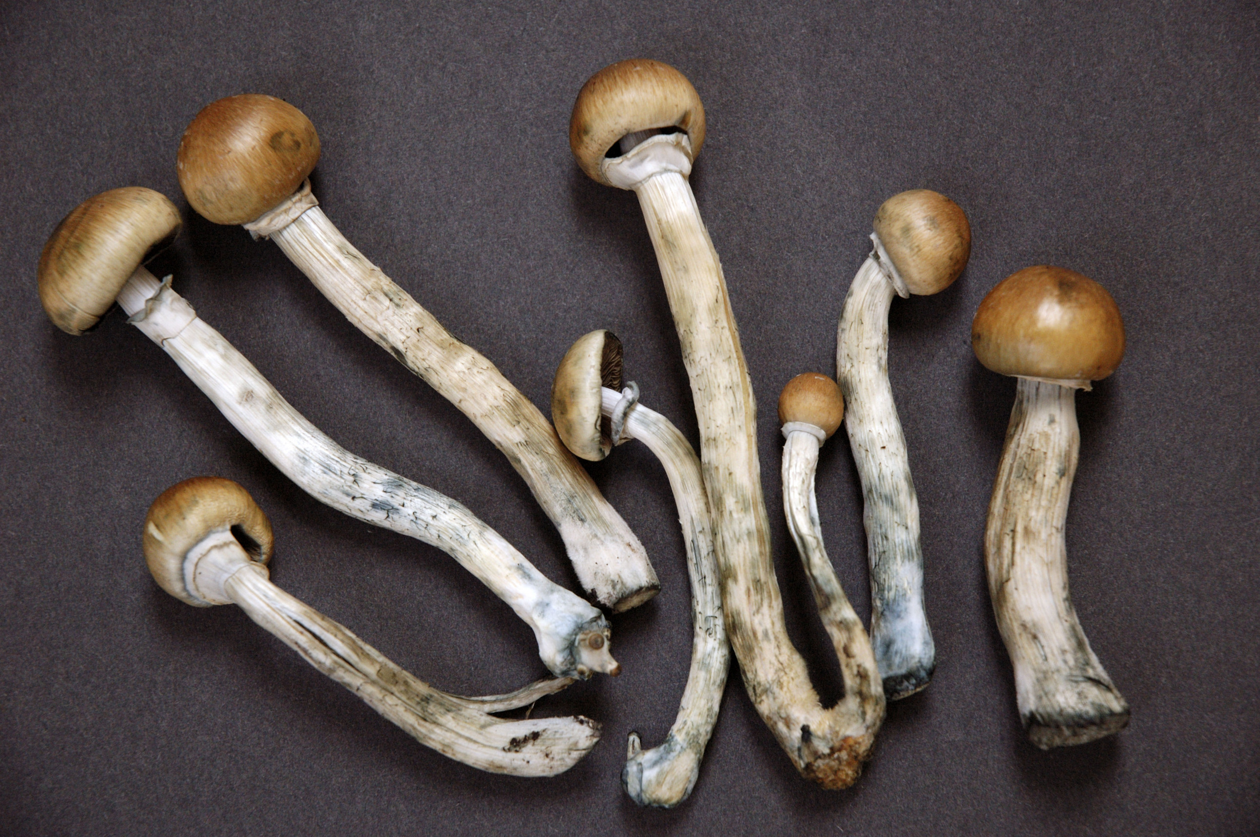 psilocybe-mushrooms