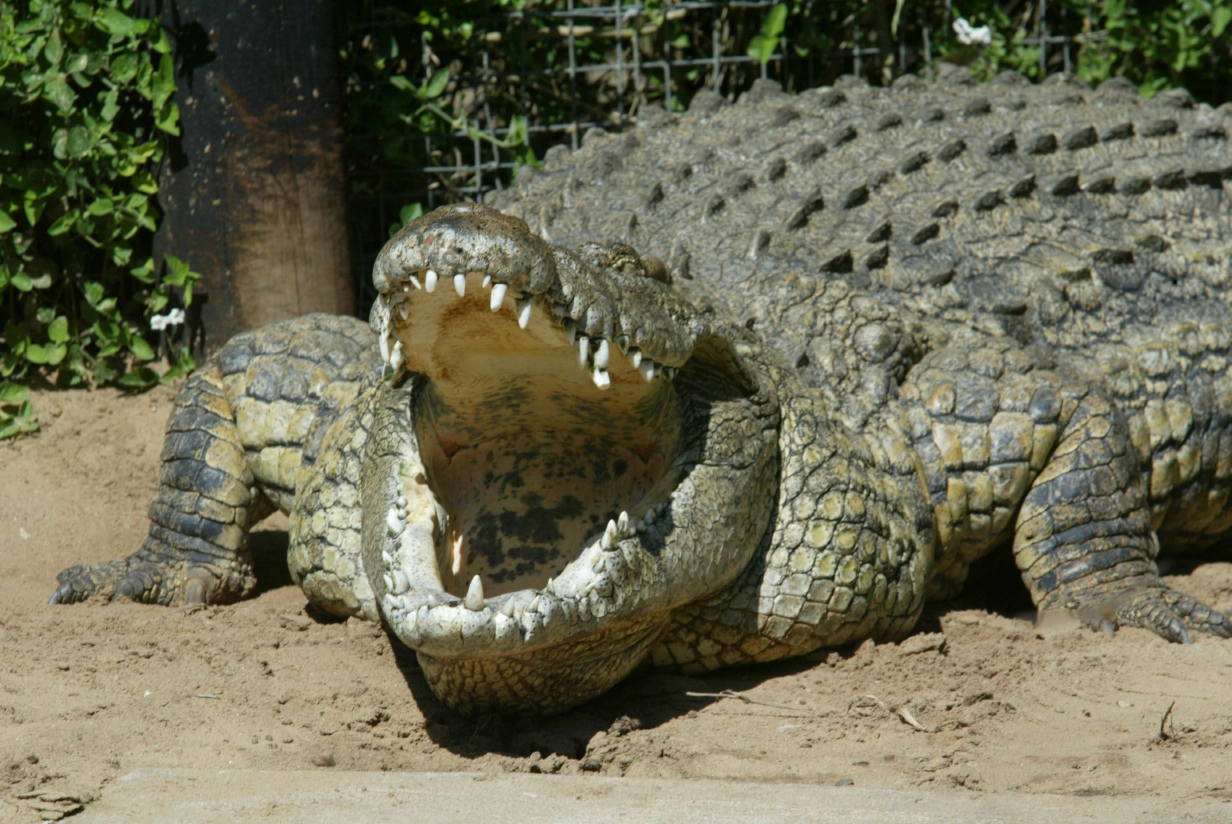 Nile Crocodiles Are in Florida, but No Need to Panic