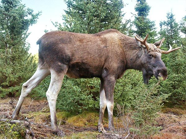 Moose Breaks Into Bank and Is Shot Dead By Police After Making Getaway