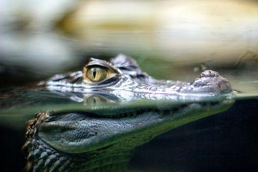 Crocodile Attack Australia