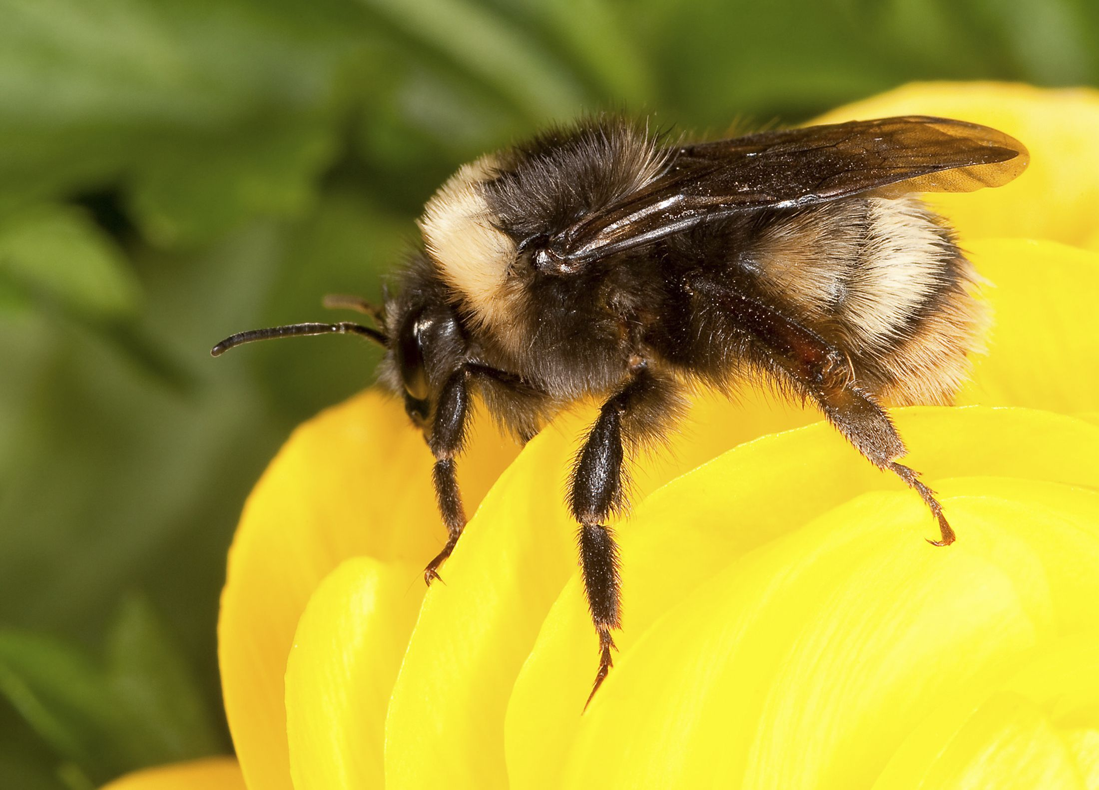 Black Bumble Bee >> Bumblebees Can Sense Electric Fields Using Hairs