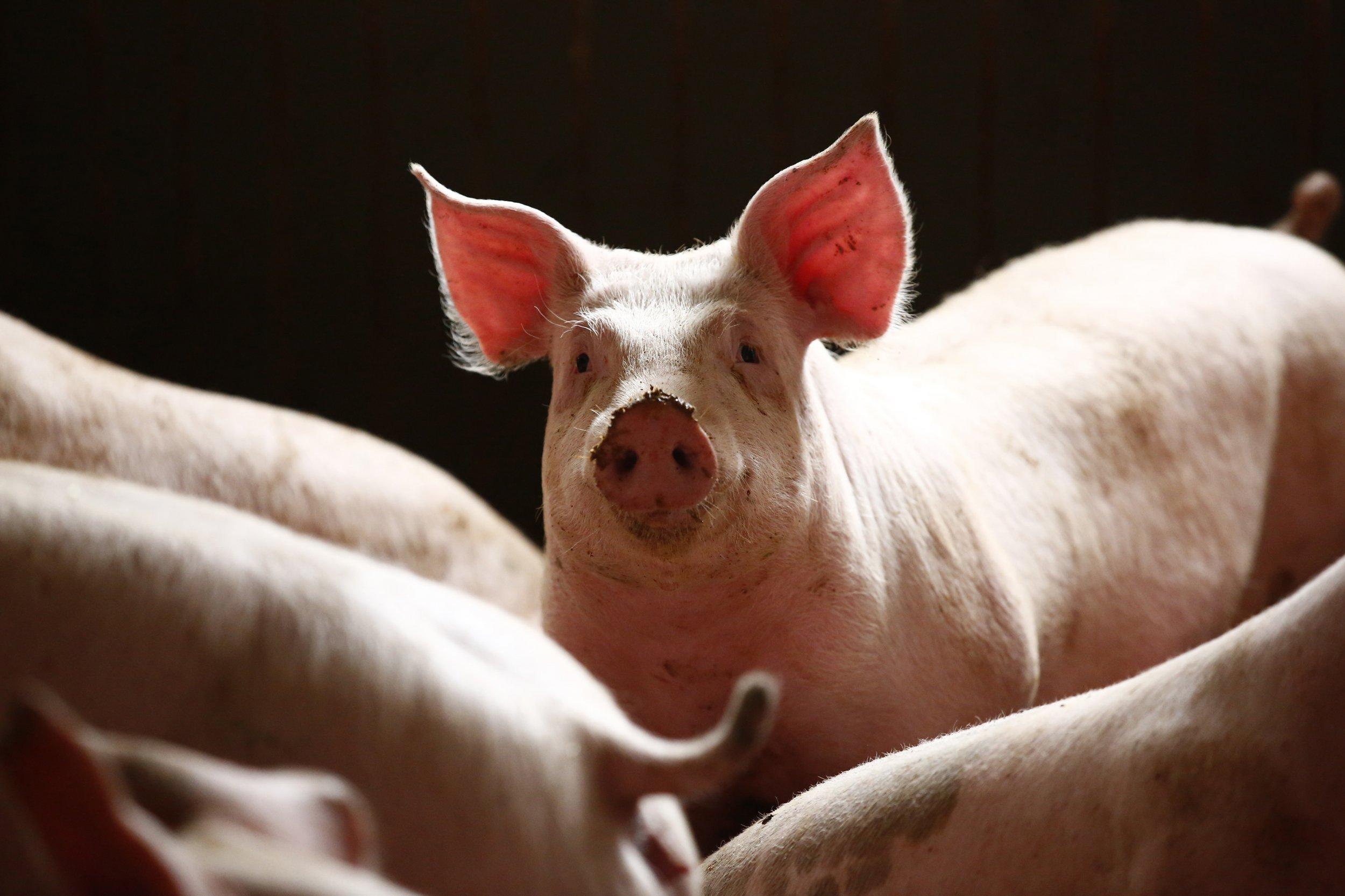 06_04_Pig_Organ_01