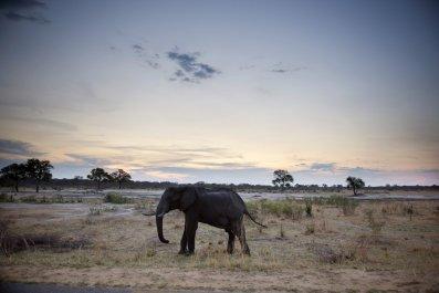 African elephant in Zimbabwe