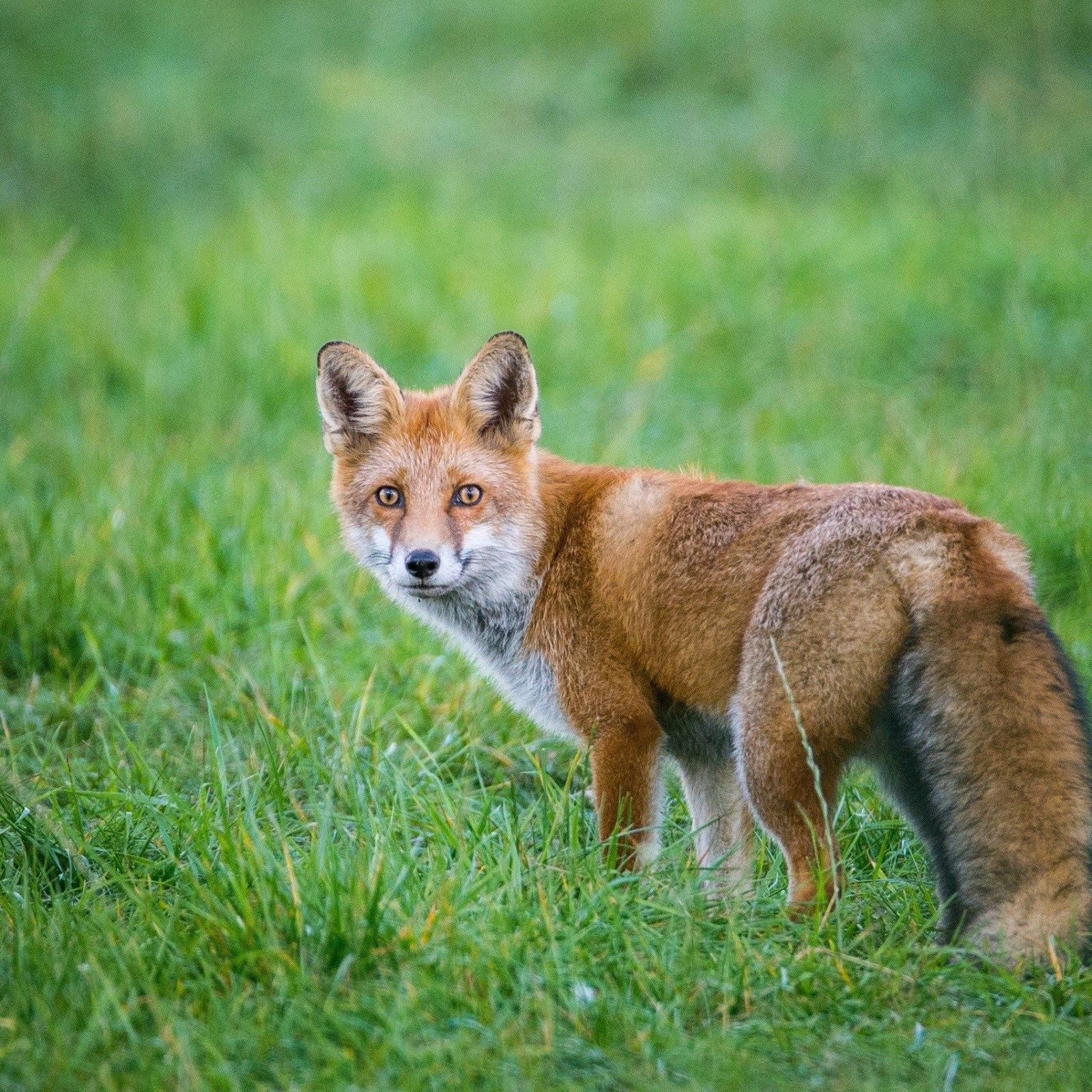Why Roald Dahl Thought Fox Hunting Was Foolish Pointless And Cruel