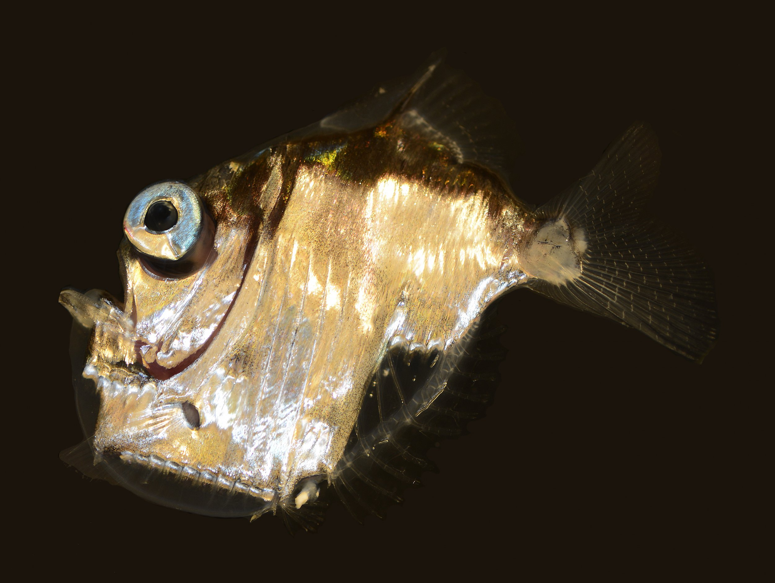 05_09_Hatchetfish