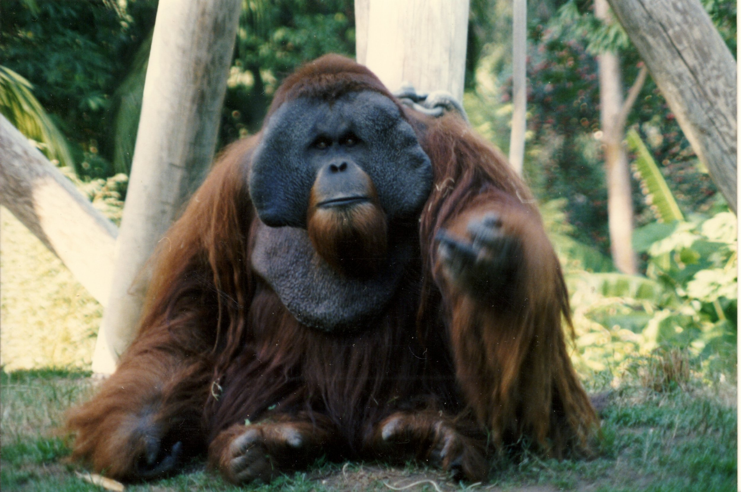 Meet Ken San Diego Zoo S Most Infamous And Hairiest Escape Artist