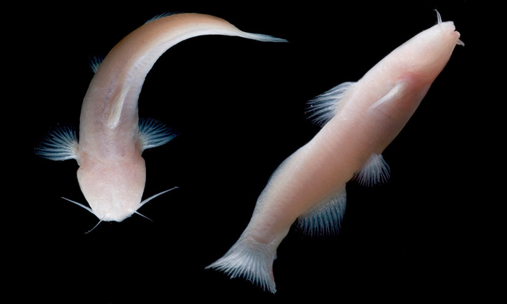 Rare Eyeless Mexican Catfish Found In Texas Cave