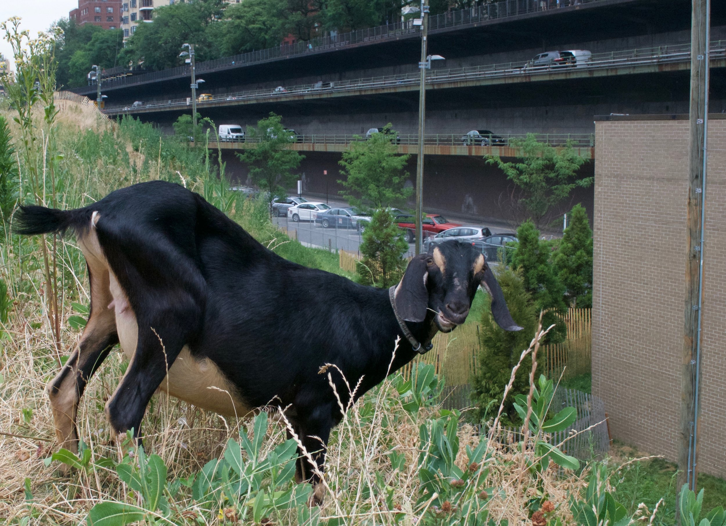 goats_brooklyn_0624_01